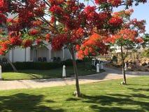 Όμορφο πάρκο με τις τροπικές όμορφες φυσικές εξωτικές εγκαταστάσεις, δέντρα με τα κόκκινα λουλούδια delonix, άσπρα κτήρια πετάλων στοκ εικόνα με δικαίωμα ελεύθερης χρήσης