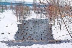Όμορφο πάρκο πόλεων στα περίχωρα της πόλης Χειμώνας, θλιβεροί ουρανός και ισχυρή χιονόπτωση Οι πάπιες διαχειμάζουν σε ένα ξεπαγωμ στοκ εικόνα με δικαίωμα ελεύθερης χρήσης