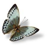 Όμορφο πέταγμα γκρίζο και χλωμό - μπλε πεταλούδα, Καμπότζη Junglequ Στοκ Εικόνες