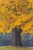 Όμορφο παλαιό δέντρο με τα πορτοκαλιά φύλλα Στοκ Φωτογραφία