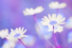 Όμορφο πεδίο camomiles Στοκ φωτογραφία με δικαίωμα ελεύθερης χρήσης