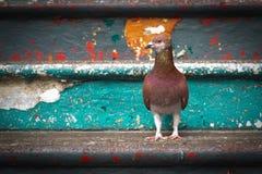 Όμορφο περιστέρι Στοκ εικόνες με δικαίωμα ελεύθερης χρήσης
