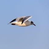 όμορφο πετώντας seagull στοκ εικόνες με δικαίωμα ελεύθερης χρήσης