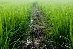 Όμορφο πεδίο ρυζιού στην Ταϊλάνδη Στοκ Εικόνες