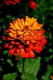 όμορφο πορτοκάλι λουλ&omicro στοκ φωτογραφία με δικαίωμα ελεύθερης χρήσης