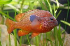 όμορφο πορτοκάλι ψαριών Στοκ φωτογραφία με δικαίωμα ελεύθερης χρήσης