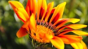 όμορφο πορτοκάλι λουλ&omicro Στοκ Εικόνα