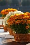 όμορφο πορτοκάλι χρυσάνθεμων Στοκ εικόνες με δικαίωμα ελεύθερης χρήσης