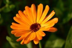 Όμορφο πορτοκαλί θερινό λουλούδι Στοκ εικόνες με δικαίωμα ελεύθερης χρήσης