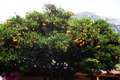 Όμορφο πορτοκαλί ψηλό φυλλώδες δέντρο με το μπλε ουρανό Ελληνικά φυσικά τρόφιμα Εσπεριδοειδή Fruit-bearing Τρόπος ζωής χώρας Χαρα Στοκ Εικόνες