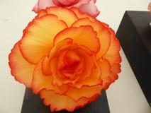 Όμορφο πορτοκαλί begonia κεφάλι λουλουδιών με τις σκούρο παρτοκαλί άκρες στα πέταλα στοκ εικόνες