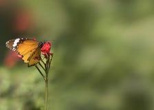 Όμορφο πορτοκαλί θηλυκό misippus eggflyHypolimnas Danaid Στοκ φωτογραφία με δικαίωμα ελεύθερης χρήσης