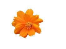 Όμορφο πορτοκαλί λουλούδι Sulphureus κόσμου που απομονώνεται στο άσπρο υπόβαθρο Στοκ Φωτογραφίες