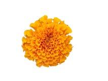 Όμορφο πορτοκαλί marigold λουλούδι που απομονώνεται στο άσπρο υπόβαθρο Στοκ εικόνες με δικαίωμα ελεύθερης χρήσης