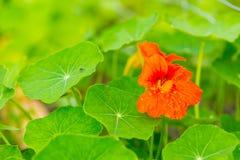 Όμορφο πορτοκαλί nasturtium λουλούδι στενό σε επάνω Στοκ Φωτογραφίες
