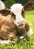 όμορφο πορτρέτο αγελάδων Στοκ Φωτογραφία