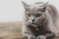Όμορφο πορτρέτο γατών, άποψη κινηματογραφήσεων σε πρώτο πλάνο Στοκ εικόνα με δικαίωμα ελεύθερης χρήσης