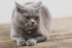 Όμορφο πορτρέτο γατών, άποψη κινηματογραφήσεων σε πρώτο πλάνο Στοκ εικόνες με δικαίωμα ελεύθερης χρήσης