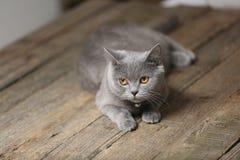 Όμορφο πορτρέτο γατών, άποψη κινηματογραφήσεων σε πρώτο πλάνο Στοκ φωτογραφία με δικαίωμα ελεύθερης χρήσης
