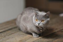 Όμορφο πορτρέτο γατών, άποψη κινηματογραφήσεων σε πρώτο πλάνο Στοκ Εικόνα