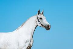 Όμορφο πορτρέτο ενός άσπρου αλόγου σε ένα υπόβαθρο του σκοτεινού ουρανού στοκ εικόνες