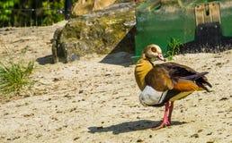 Όμορφο πορτρέτο κινηματογραφήσεων σε πρώτο πλάνο μιας αιγυπτιακής χήνας, ζωηρόχρωμο και τροπικό specie πουλιών από την Αφρική στοκ φωτογραφία με δικαίωμα ελεύθερης χρήσης