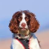 Όμορφο πορτρέτο σκυλιών στοκ εικόνα με δικαίωμα ελεύθερης χρήσης