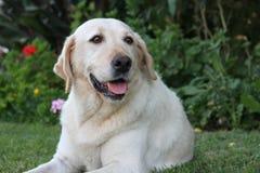 Όμορφο πορτρέτο του άσπρου σκυλιού του Λαμπραντόρ στον κήπο Στοκ φωτογραφίες με δικαίωμα ελεύθερης χρήσης
