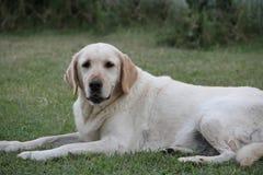 Όμορφο πορτρέτο του άσπρου σκυλιού του Λαμπραντόρ στον κήπο Στοκ Εικόνα