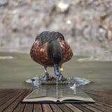 Όμορφο πορτρέτο Anas κιρκιριών κάστανων του αρσενικού πουλιού παπιών Castanea Στοκ φωτογραφία με δικαίωμα ελεύθερης χρήσης