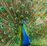 όμορφο πορτρέτο peacock φωτογραφία των άγριων ζώων Peacock Στοκ φωτογραφία με δικαίωμα ελεύθερης χρήσης