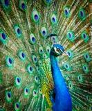 όμορφο πορτρέτο peacock φωτογραφία των άγριων ζώων Peacock Στοκ Φωτογραφία