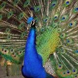όμορφο πορτρέτο peacock Στοκ φωτογραφίες με δικαίωμα ελεύθερης χρήσης