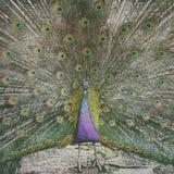 όμορφο πορτρέτο peacock Στοκ εικόνες με δικαίωμα ελεύθερης χρήσης