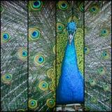 όμορφο πορτρέτο peacock Στοκ φωτογραφία με δικαίωμα ελεύθερης χρήσης