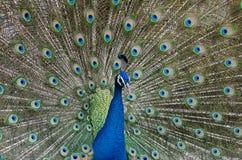 όμορφο πορτρέτο peacock Στοκ Εικόνες