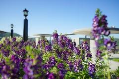 Όμορφο πορφυρό λουλούδι Angelonia Serenita Στοκ φωτογραφία με δικαίωμα ελεύθερης χρήσης