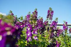 Όμορφο πορφυρό λουλούδι Angelonia Serenita Στοκ Φωτογραφίες
