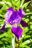 Όμορφο πορφυρό λουλούδι Fleur-de-Lis ίριδων στοκ φωτογραφίες με δικαίωμα ελεύθερης χρήσης