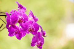Όμορφο πορφυρό λουλούδι ορχιδεών στο ανοικτό πράσινο backround στοκ εικόνες με δικαίωμα ελεύθερης χρήσης