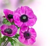 Όμορφο πορφυρό λουλούδι anemone Στοκ Εικόνα