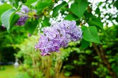 Όμορφο πορφυρό λουλούδι Syringa (πασχαλιά) Στοκ φωτογραφία με δικαίωμα ελεύθερης χρήσης