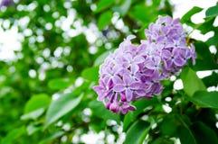 Όμορφο πορφυρό λουλούδι Syringa (πασχαλιά) Στοκ Εικόνες