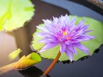 Όμορφο πορφυρό Lotus στο φως πρωινού Στοκ Φωτογραφία