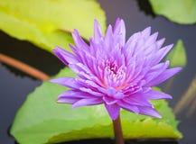 Όμορφο πορφυρό Lotus στο φως πρωινού Στοκ εικόνες με δικαίωμα ελεύθερης χρήσης