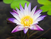 Όμορφο πορφυρό Lotus στο φως πρωινού Στοκ Φωτογραφίες