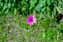 Όμορφο πορφυρό osteospermum ή αφρικανικό ρόδινο λουλούδι μαργαριτών που απομονώνεται σε πράσινο στοκ εικόνες
