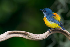 Όμορφο πουλί, πορτοκαλής-διογκωμένα Flowerpecker & x28  Trigonostigma & x29 Dicaeum  αρσενικό Στοκ εικόνες με δικαίωμα ελεύθερης χρήσης