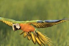 Όμορφο πουλί που πετά στο θολωμένο υπόβαθρο Στοκ Εικόνες