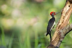 Όμορφο πουλί, δρυοκολάπτης Στοκ Εικόνες